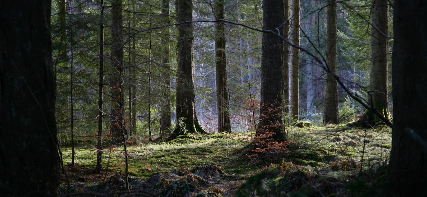 Dunkeld and Birnam Hermitage walk Douglas firs
