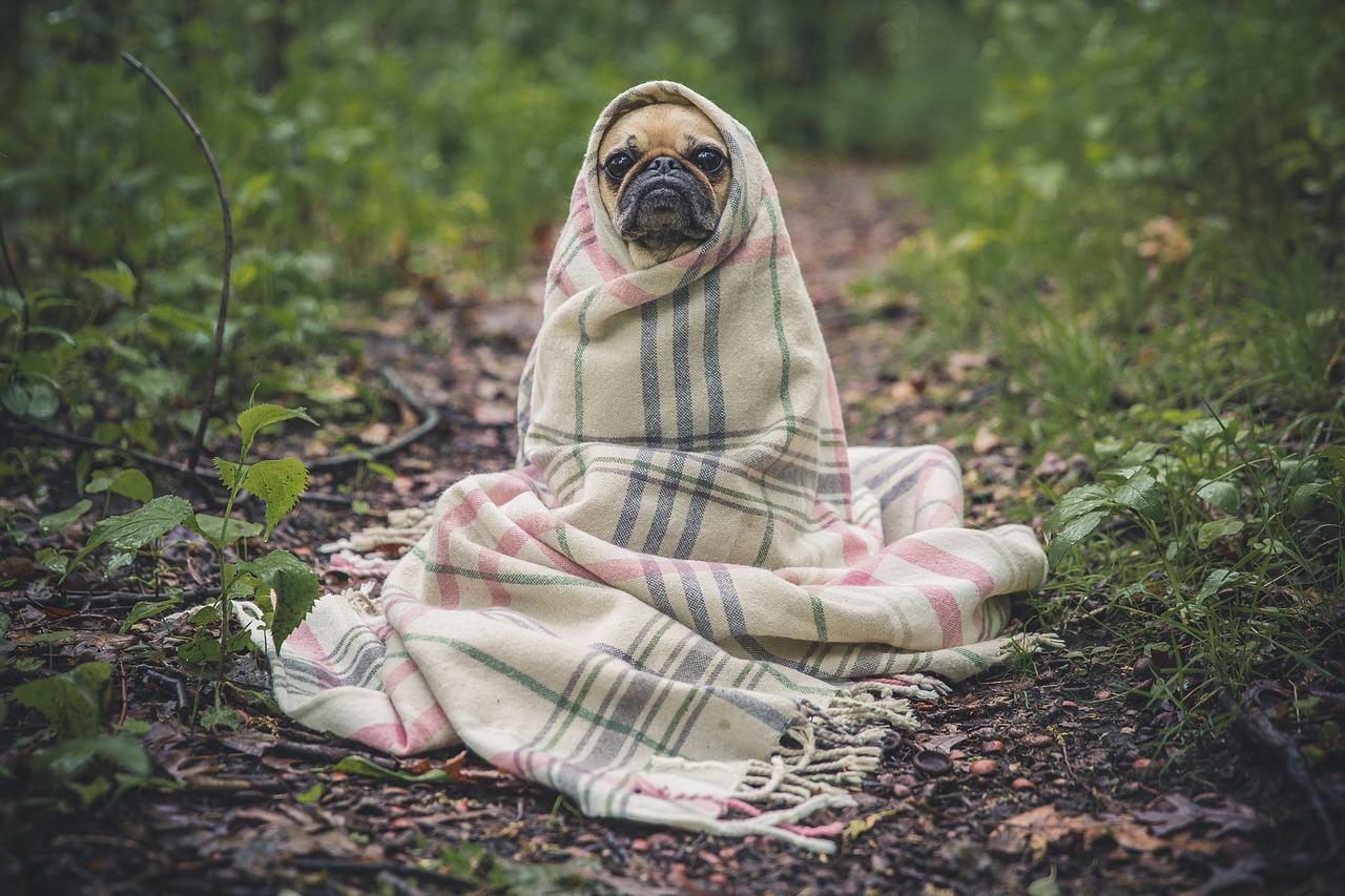 Dog Pug in blanket in woods
