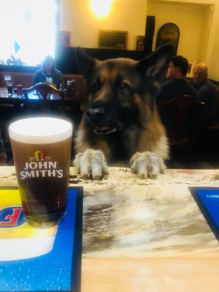dog drinking a pint